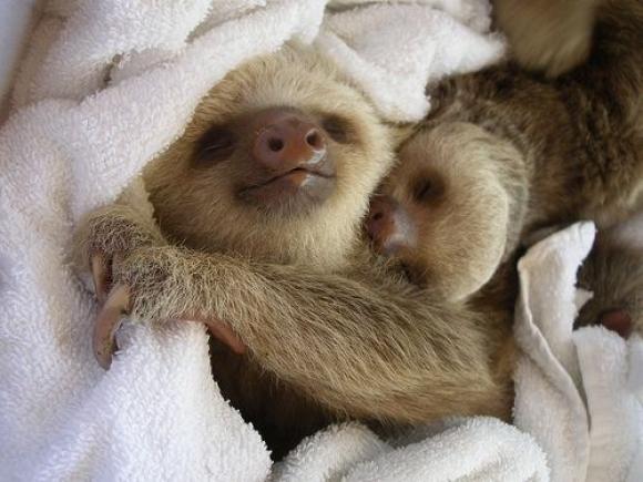 l-Sleeping-sloths