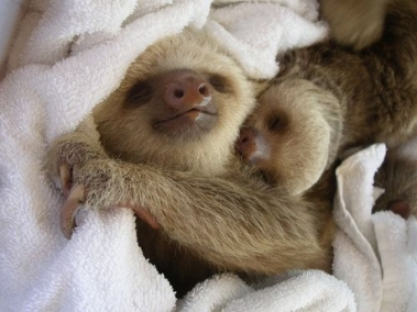 l-Sleeping-sloths