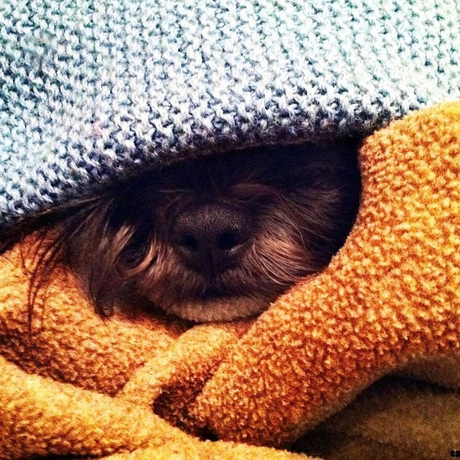 small-dog-breed-sleeping-under-blanket-picture-181