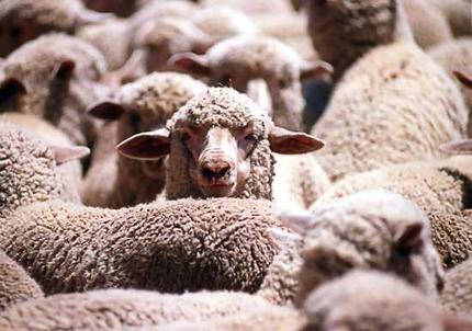 sheep-sleep1