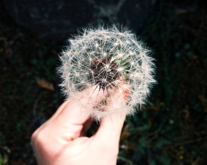dandelion with fluff