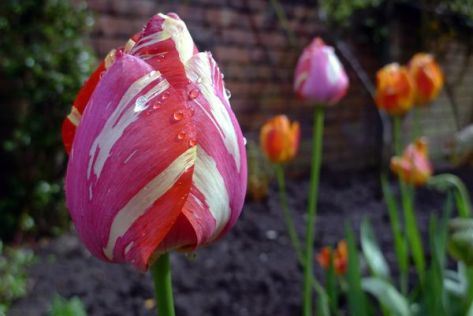 Photograph by Inne R Hardjanto, My Shot Tulips at Keukenhof Garden near Lisse, Netherlands.