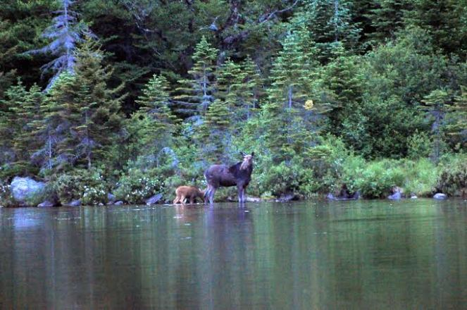 moose in water at forest's edge