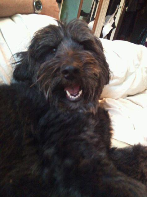 olivia, my black fuzzy dog, in bed
