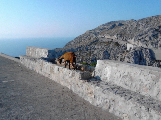 Wild goat prepares for nap on Cap de Formentor, road in background.