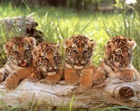 cute baby tigers