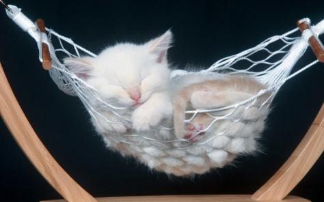 cute kitten hammock