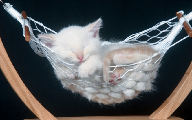 cute kitten hammock