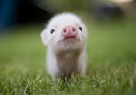 cute piglet1
