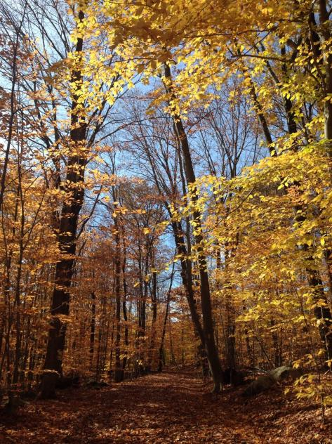 Dark trees with bright yellow leaves against blue sky