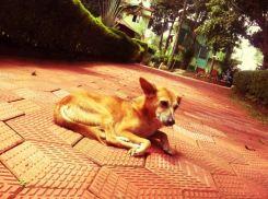 Shanti the house dog relaxing in the sun at the Shivananda ashram in Neyyar Dam, Kerala
