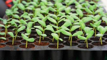 seedling_tray_damping_off-jpg-560x0_q80_crop-smart
