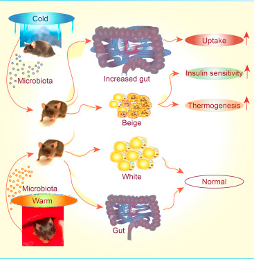 a description of the process of insulin uptake after introducing gut microbiota into mice