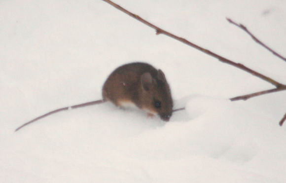 A small brown mouse outside in the snow