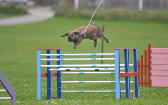 A brown bunny jumping over a blue and white barrier on a bunny show-jumping course