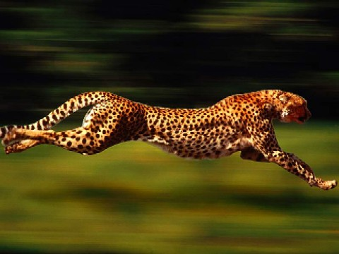 Cheetah with black spots running so fast the background is a blur of green.