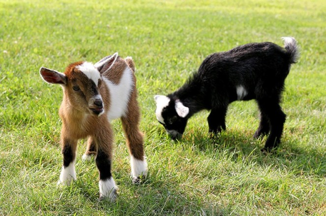 Two baby goats on a patch of green grass. The kid that's predominantly brown with white and black patches faces front, the black kid with white ears, top of head, and some white in its talk is leaning down eating grass. They are both immeasurably adorable. I still don't wish to do yoga with them.
