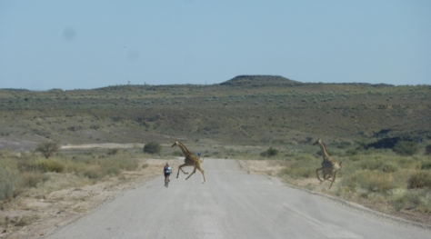 A cyclist riding on a gravel road in Africa, with two giraffes crossing the road (one in front of him!)
