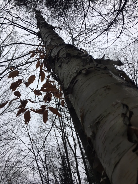 Image description: Soaring birch tree with very few brown leaves, taken from the bottom of the trunk looking upward to the grey sky.