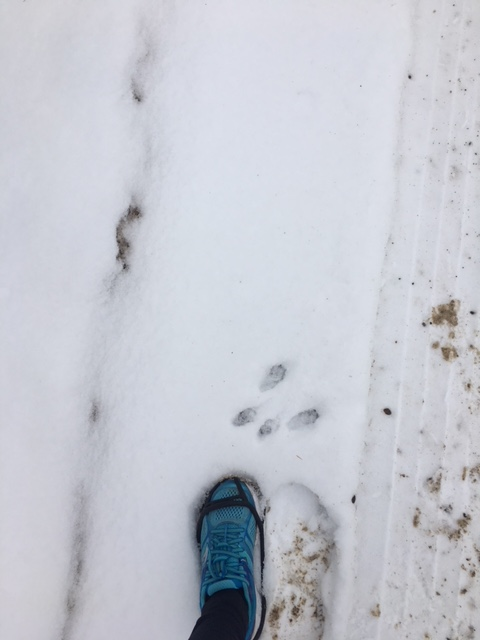 Image description: Another patch of snow with Tracy's left foot, robin blue shoe and ice grippers. This time there is animal paw print (probably deer) in the snow just ahead of her foot and a tire track to the right of it.