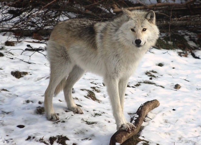 Image description: white wolf standing on snow covered ground among trees, head turning towards the camera.