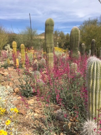 Stands of tall cacti and pink and yellow blooms.