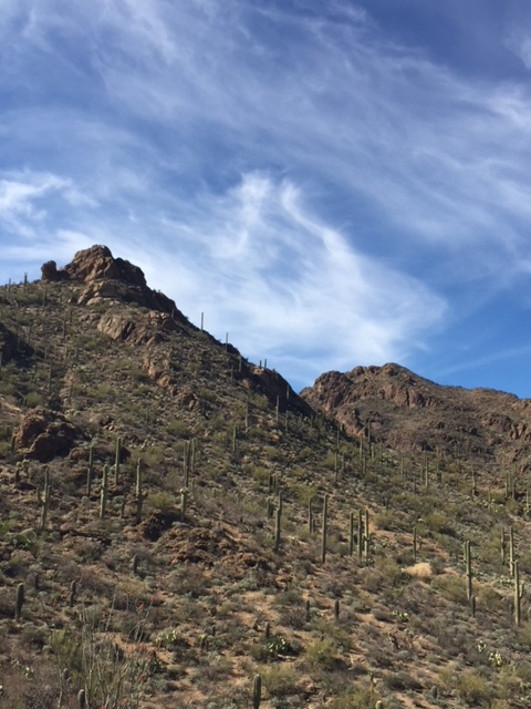 A hillside dotted with saguaro cactus, with blue sky and wispy white clouds in the background.