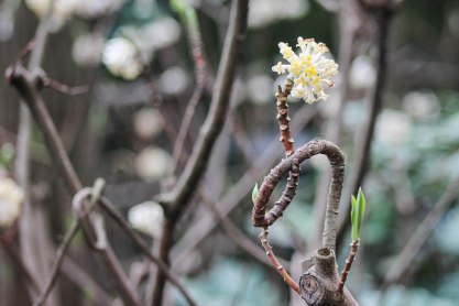 Image description: Single flower on the end of a circular branch with two more green buds, more flowers, branches, and greenery blurred in the background. Photo credit: Tracy (China trip)
