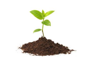 Image description: small green seedling plant with four leaves and more sprouting, in a little pile of soil, against a white background.