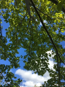 A large maple tree branch full of leaves against a blue sky with a few clouds in it.