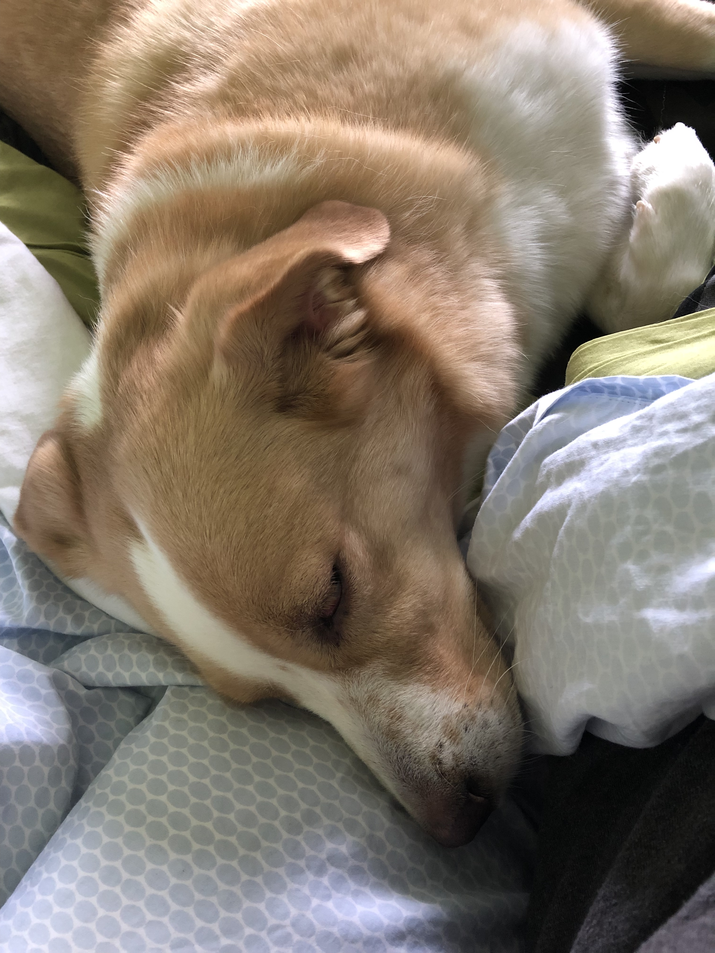 A dog with light brown and white fur is sleeping on a bed.