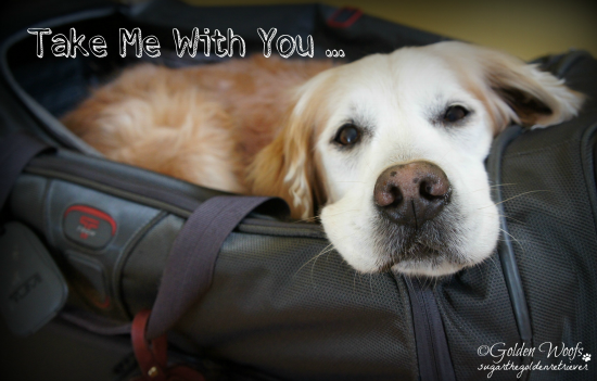 A golden retriever with a white face and black nose in a black duffle looking sad that he's not going on holiday.