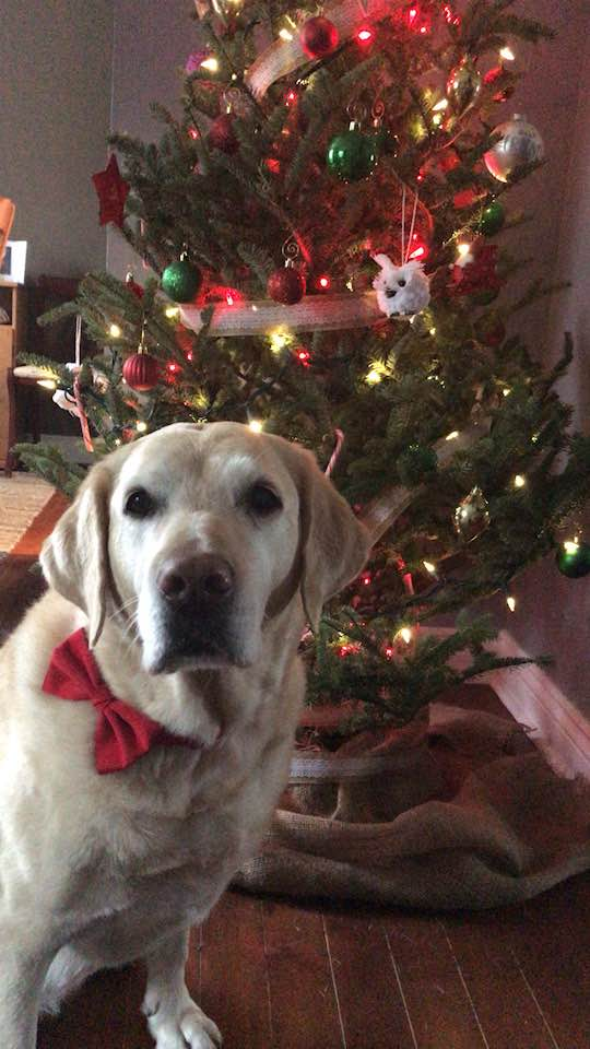 A yellow lab with a red bow collar in front of a Christmas tree