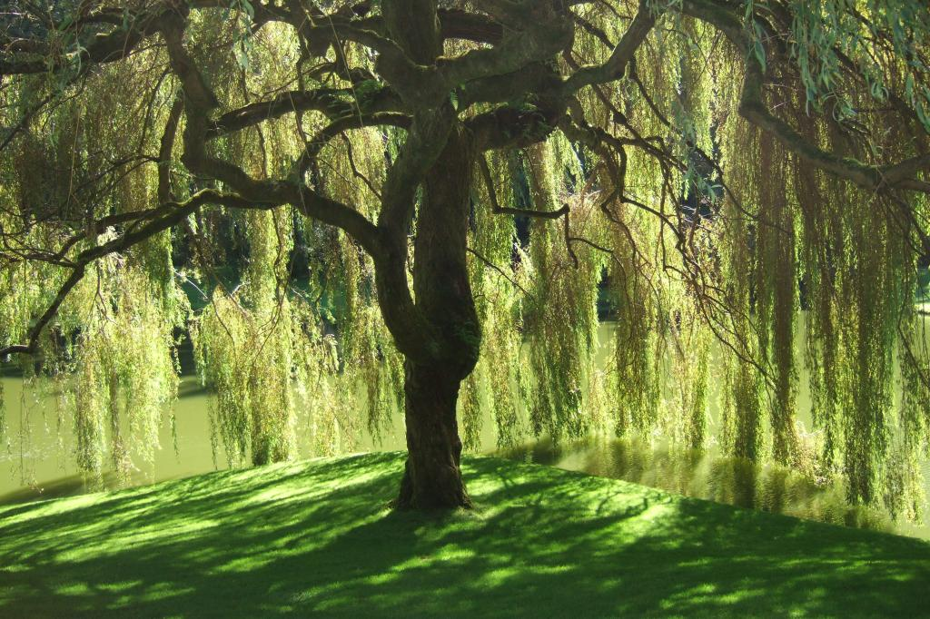Midsummer scene of a Willow tree by a river representing my longing for flexible strength