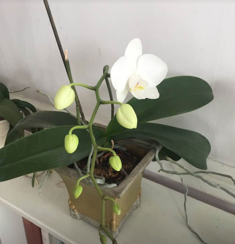 White orchid blooms in various stages.