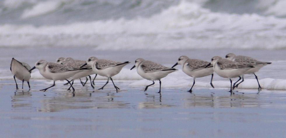 Sea birds, running along the shore.
