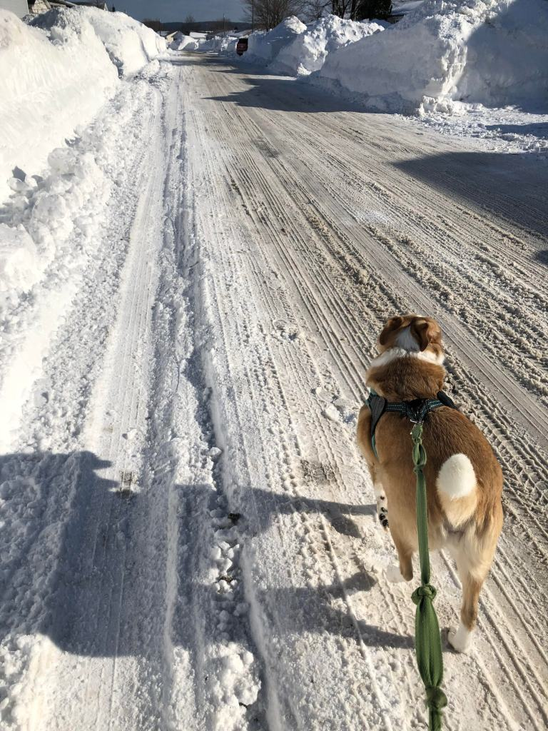 A dog with light brown hair with a few white patches walks happily down a snow-covered road. She is on a harness leash.