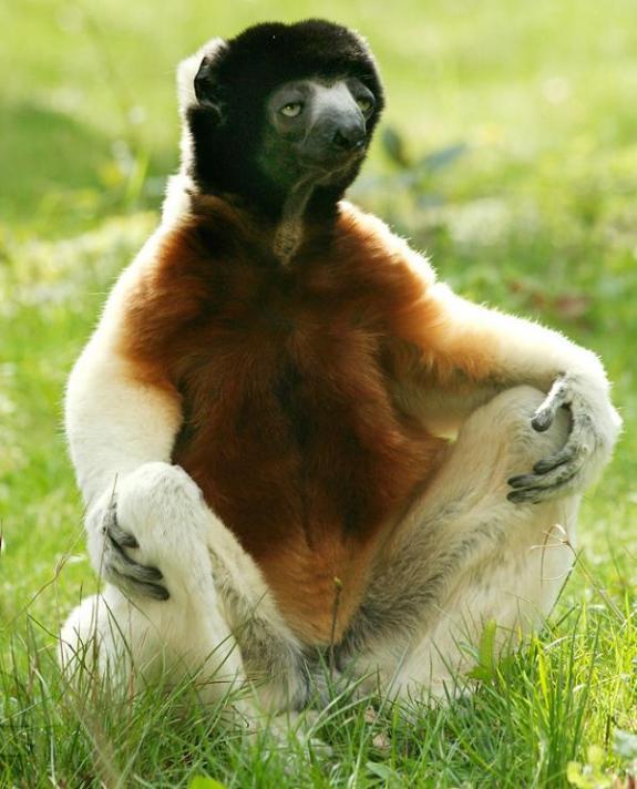 Sloth in Lotus Pose