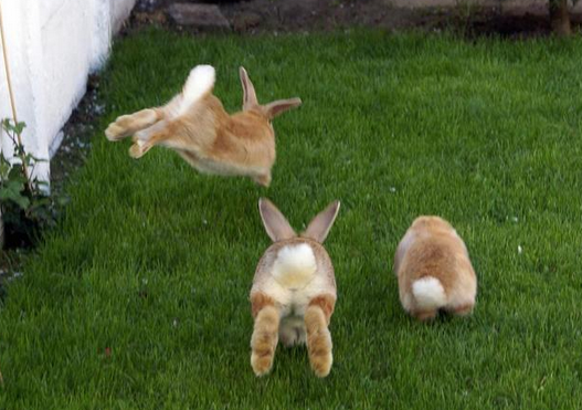 3 bunnies on green grass viewed from the rear, two hopping.