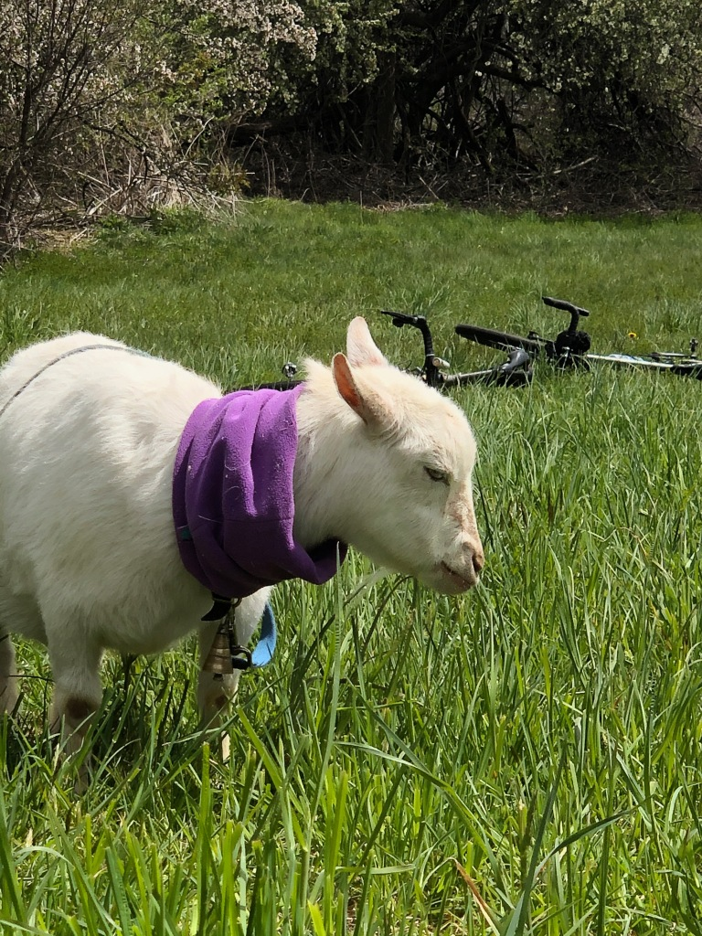 Idyllic still life with goat and bike.