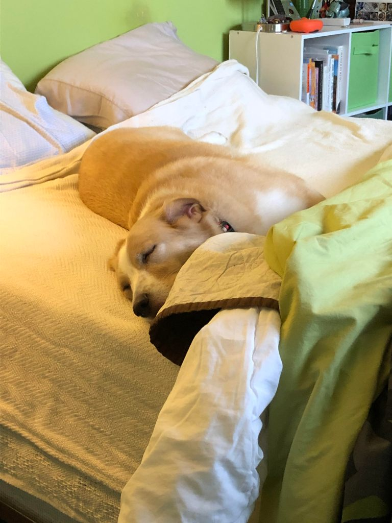 A light haired dog sleeps on a partially-made bed. There are bookshelves in the background.