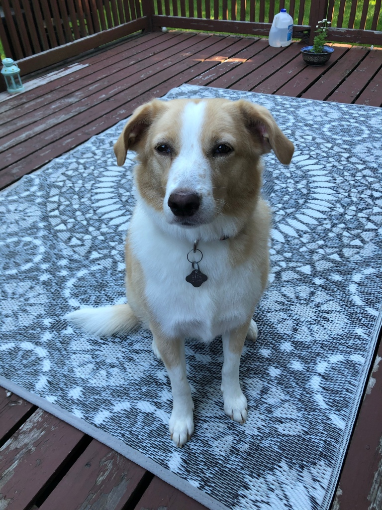 A light-haired medium-sized dog sits upright on a patterned mat on a wooden patio.