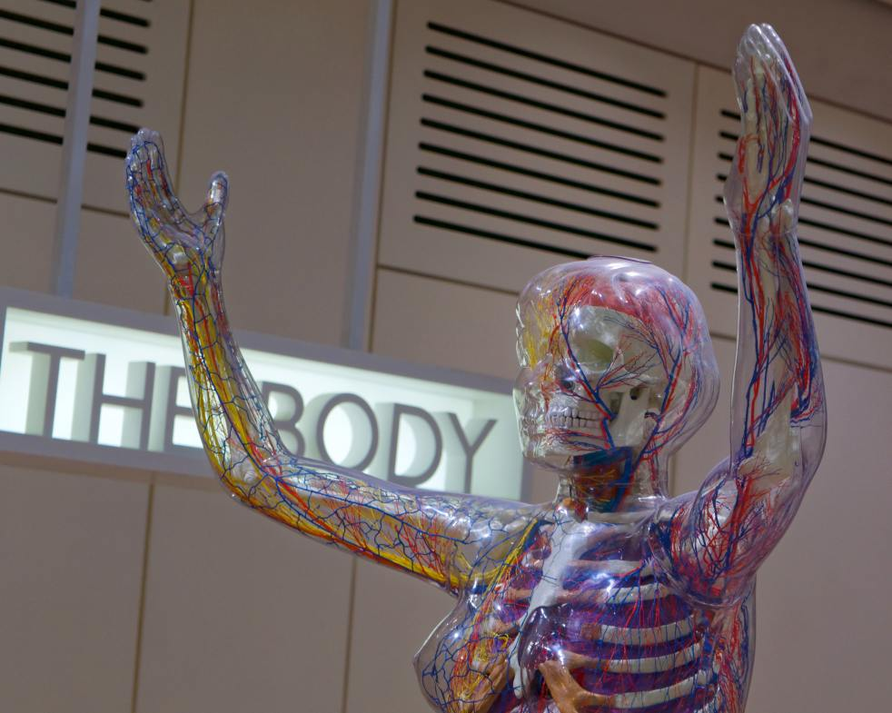 A clear plastic rendition of a woman with skeleton, veins, etc.