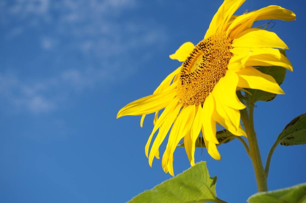 An upright sunflower, enjoying some direct light against a blue sky. By Lisa Pellegrini for Unsplash.