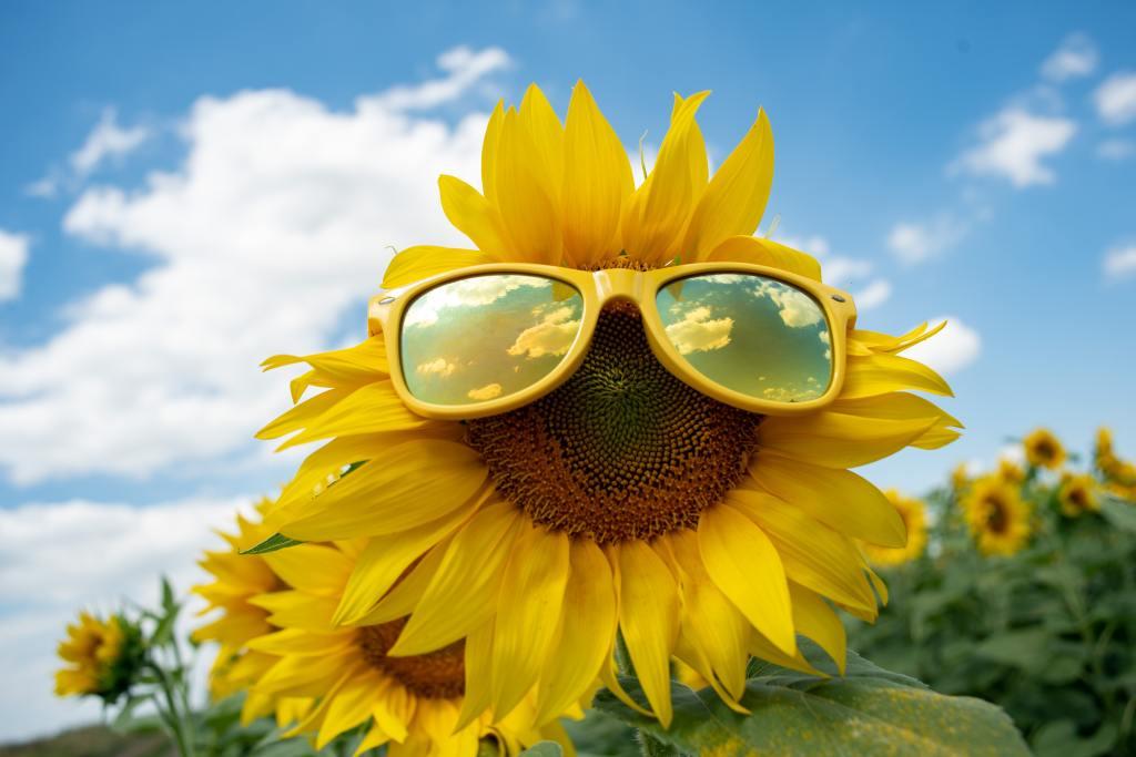 A sensible sunglasses-wearing sunflower. I like that idea. By Wan J. Kim for Unsplash.
