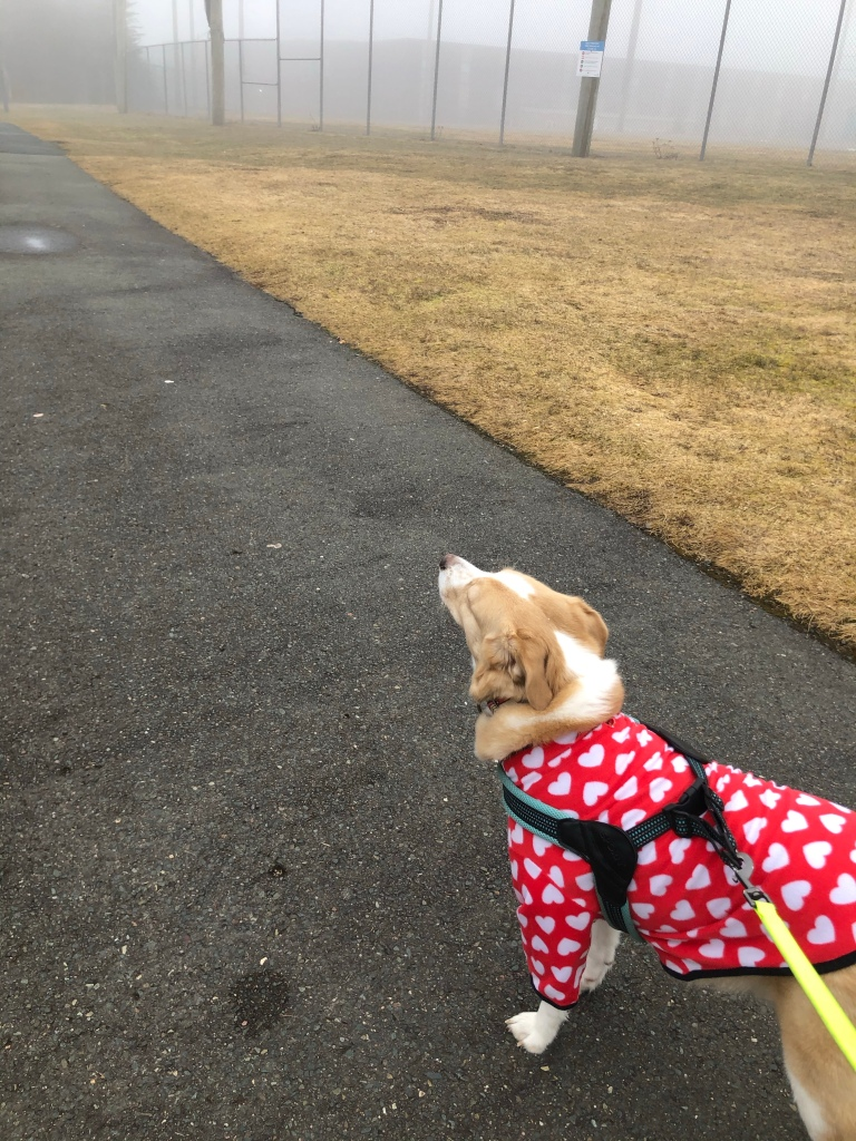 A light haired  dog in    a red and white shirt sniffs the air on a paved path.