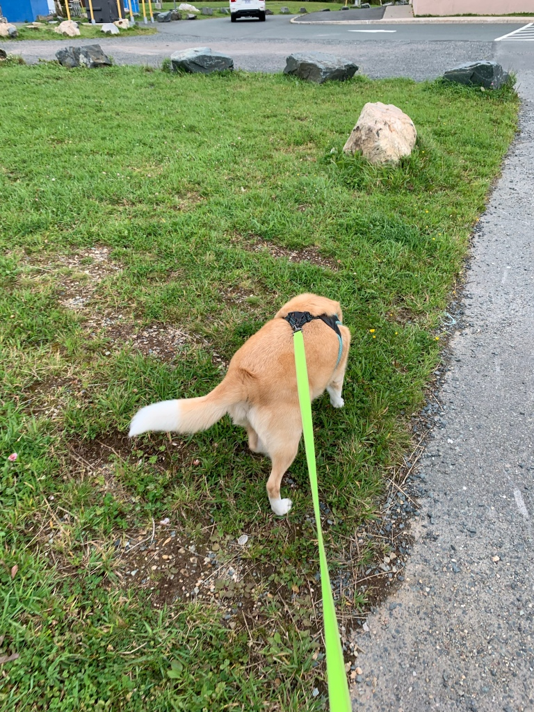 Image description: Khalee, a medium-sized, light-haired dog on a neon yellow leash is walking away from the camera while she sniffs the ground. She is standing on some grass and there are large decorative rocks a bit further ahead. Part of an asphalt path can be seen on the right side of the photo.