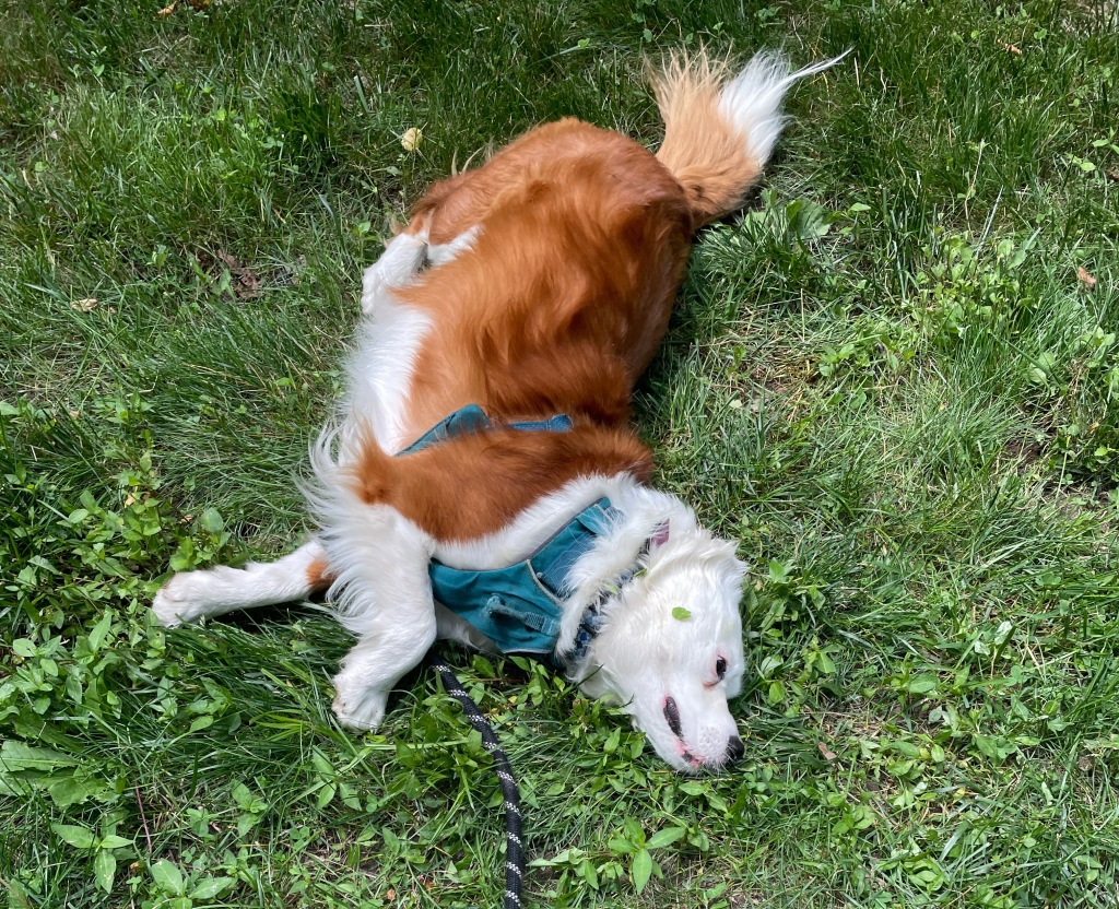 Dixie, an incomparable rust-and-white dog, demonstrates the side scoot.