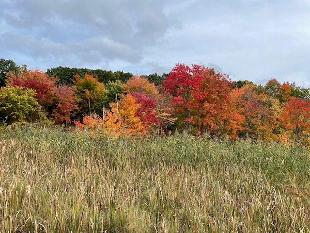 A wetland with fall colored trees: orange and red.